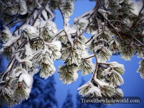 Arctic Frozen Trees
