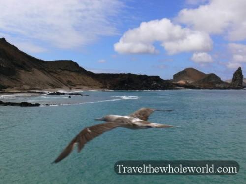 Galapagos Bay Pelican