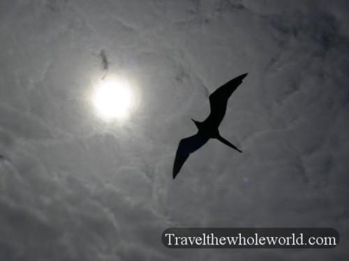 Galapagos Bird Frigate