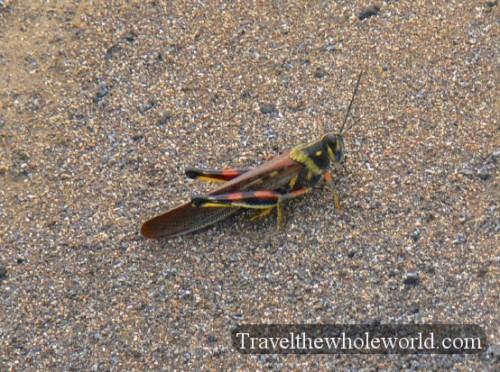 Galapagos Painted Grasshopper