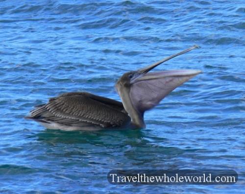 Galapagos Pelican Eating