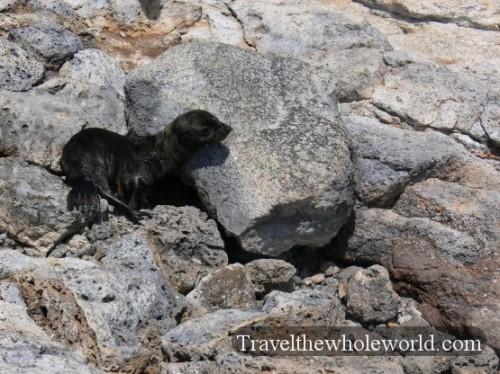 Galapagos Seal Baby