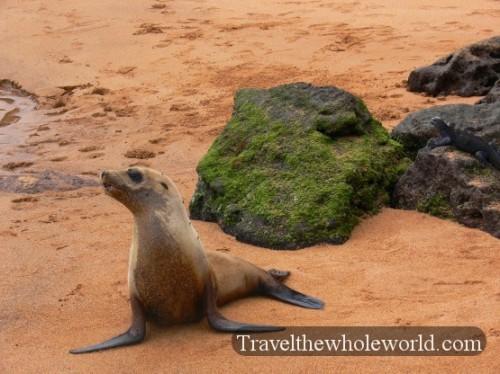 Galapagos Seal Standing