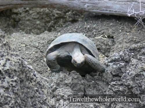 Galapagos Baby Tortoise