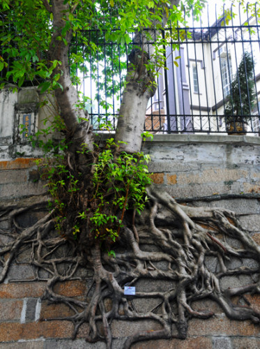 Hong Kong Tree Roots