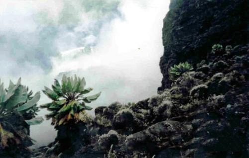 Kilimanjaro Senecio  Plants