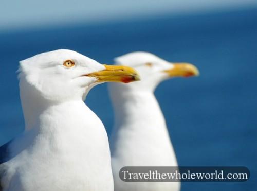 Maine-Acadia-Seagulls2