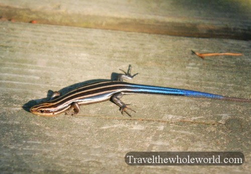 Maryland_Blue_Tailed_Skink