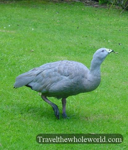 New-Zealand-Goose2