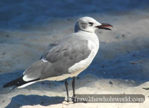 New Jersey Atlantic City Gull
