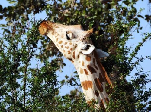 Niger Giraffe Eating