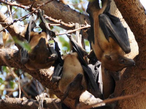 Niger Niamey Fruit Bats