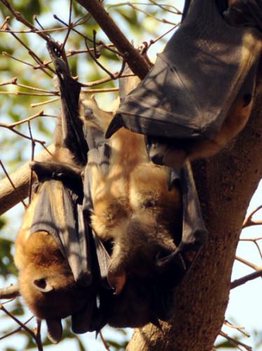 Niger Niamey Fruit Bats4