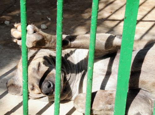 Niger Niamey Zoo Hyena