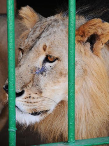 Niger Niamey Zoo Lion