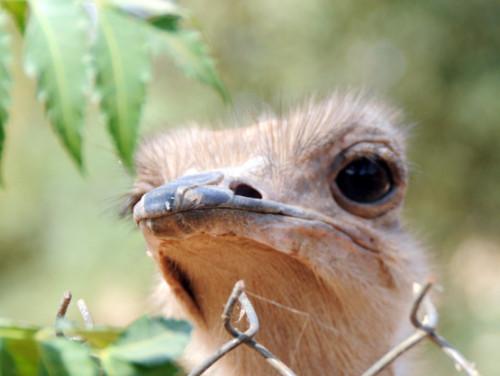 Niger Niamey Zoo Ostrich