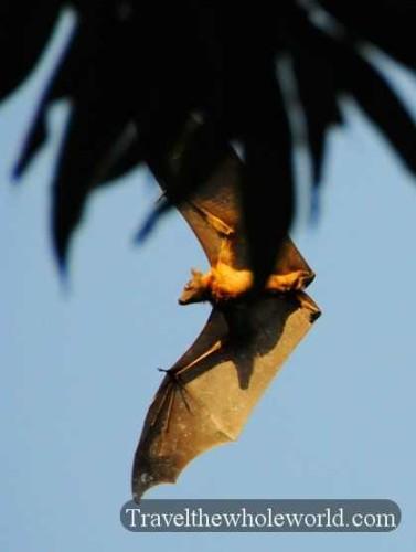Niger River Flying Fox