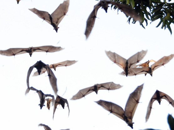 Niger River Flying Foxes