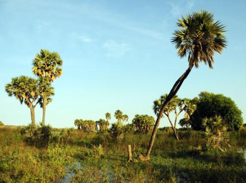 Niger River Palms
