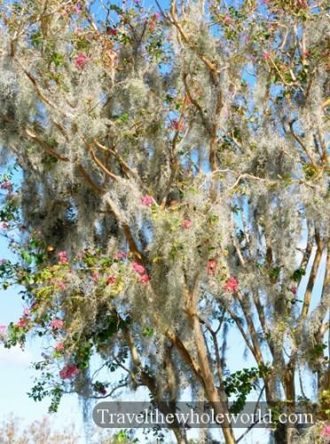 North Carolina Wilmington Spanish Moss