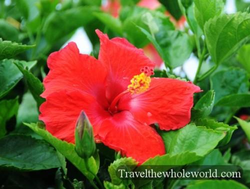 North Carolina Wilmington Hibiscus