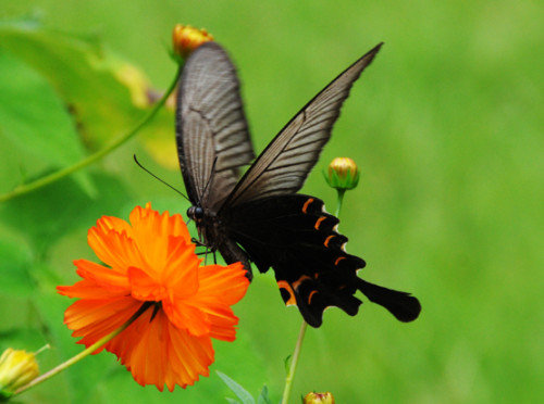 North Korea Butterfly Black