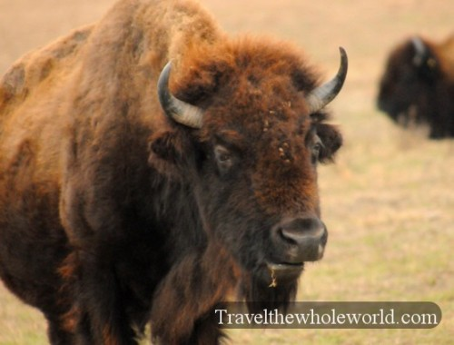 Oklahoma-Tallgrass-Prairie-Bison