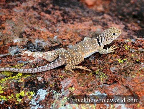 Oklahoma-Wichita-Mountains-Lizard