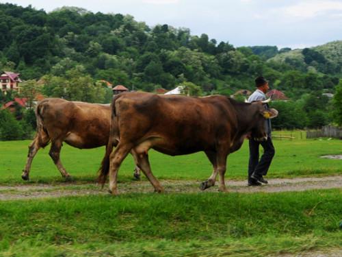 Romania Village Bulls