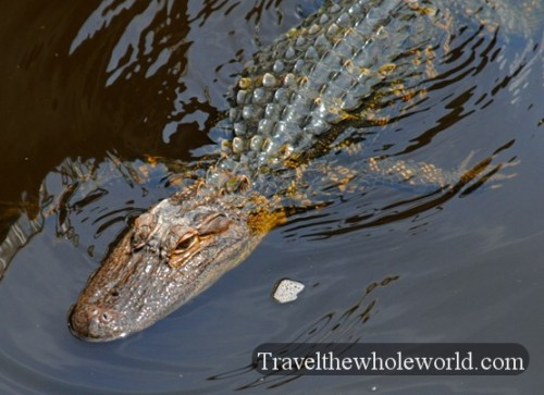 South_Carolina_Alligator_Swimming