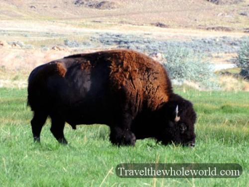 Utah Salt Lake Antelope Island Bison