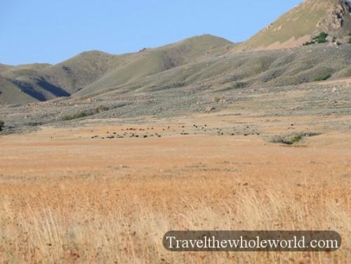 Utah Salt Lake Antelope Island Bison Heard
