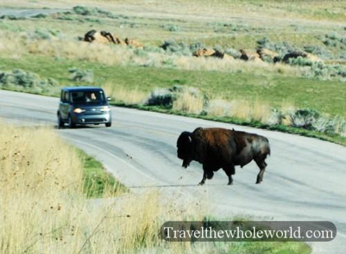 Utah Salt Lake Antelope Island Bison Crossing