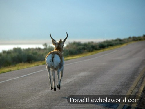 Utah Salt Lake Antelope Island Silly Buck