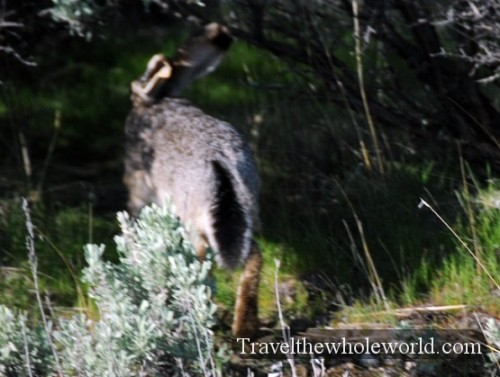 Utah Salt Lake Antelope Island Rabbit
