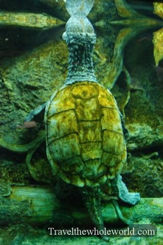 Virginia Beach Aquarium Snapping Turtle