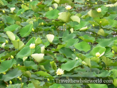 Wisconsin Lily Pads