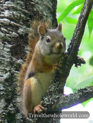 Wisconsin Nicolet Squirrel
