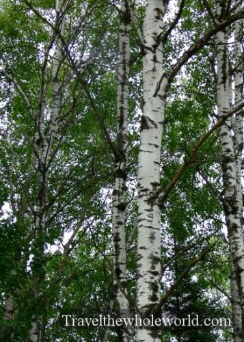 Wisconsin Nicolet Trees