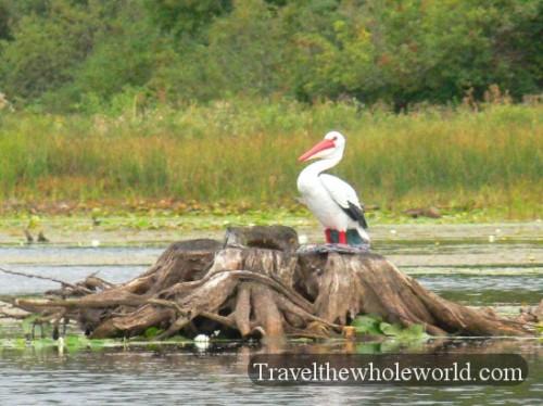 Wisconsin Pelican