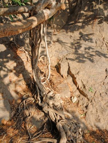 Yemen Aden Plant Tree Roots