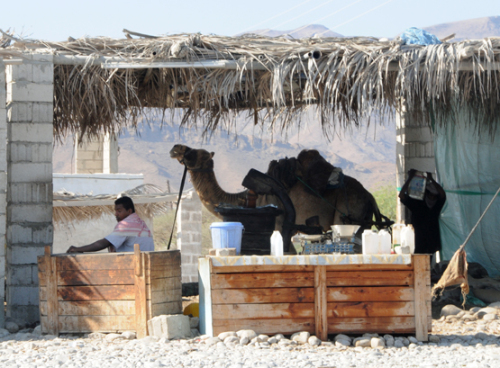 Yemen Central Camel