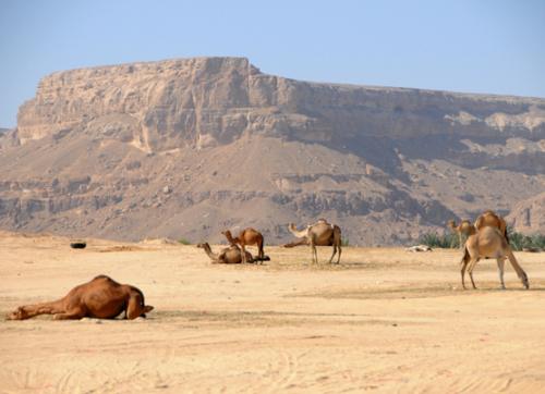Yemen Central Camels