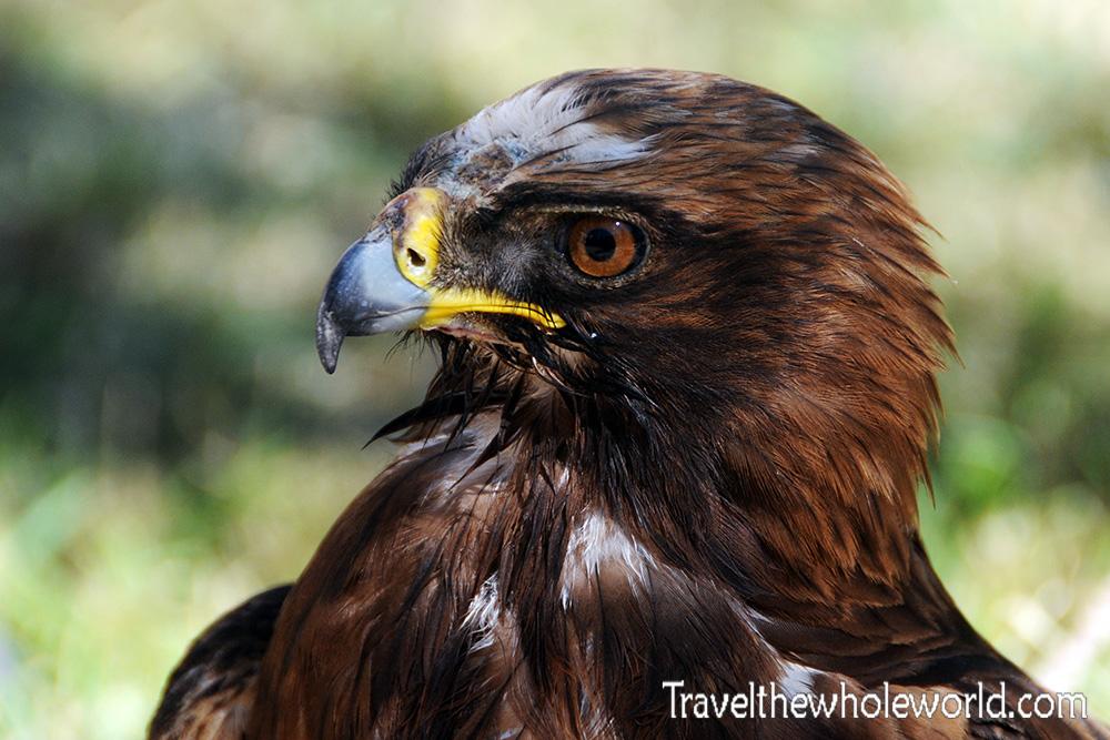 Yemen Hawk
