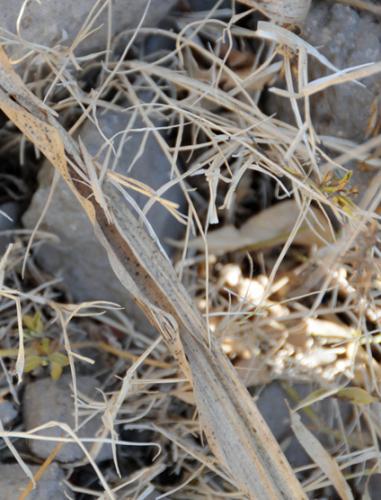 Yemen Grasshopper