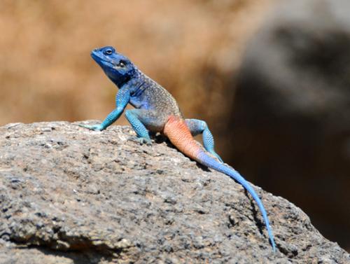 Yemen Lizard