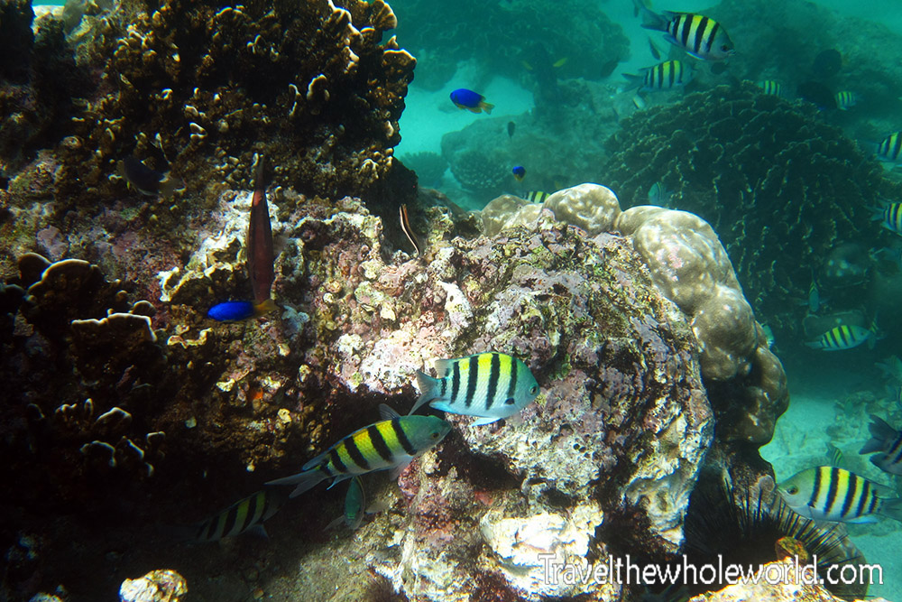 Yemen Socotra Diving Fish Yellow