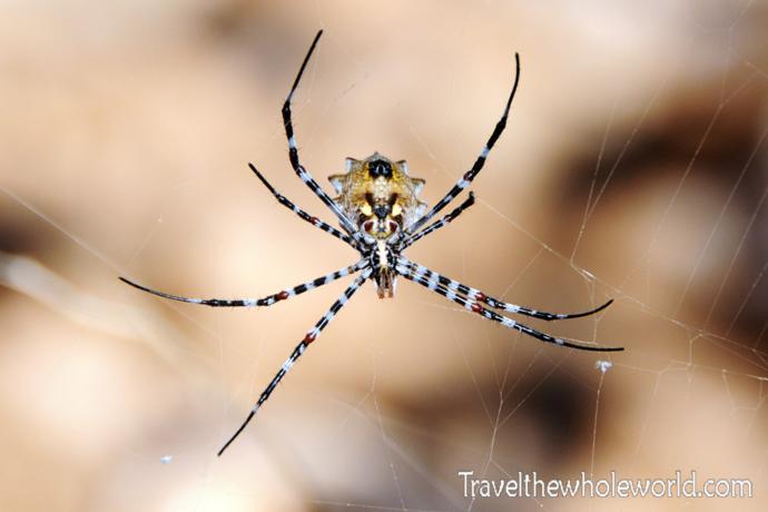 Yemen Socotra Spider