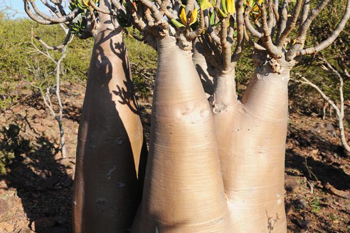 Yemen Socotra Flowering Tree