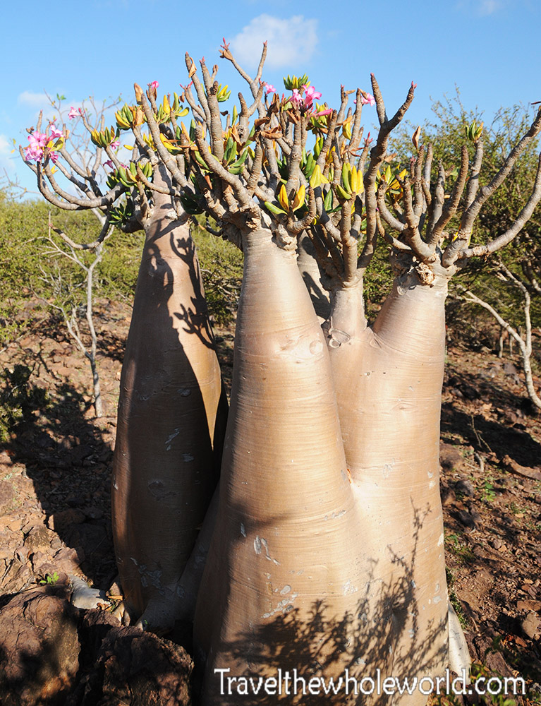 Socotra Flower Tree